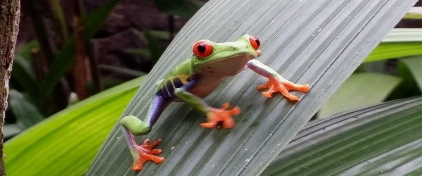 Poisonous frogs of Costa Rica