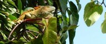 Green iguana in tree resting